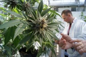 Anziani: cannabis rallenterebbe declino. Effetto contrario sui giovani